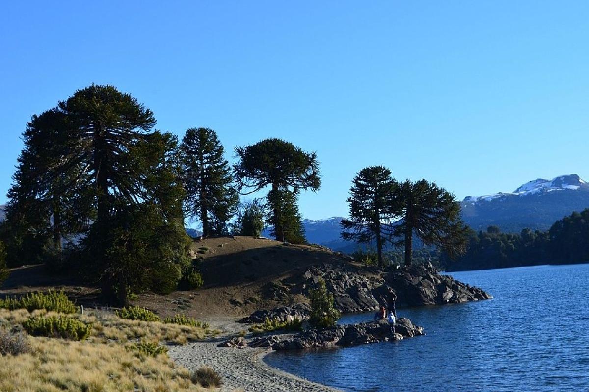 Ruta del Pehuén: viaje al reino de las araucarias