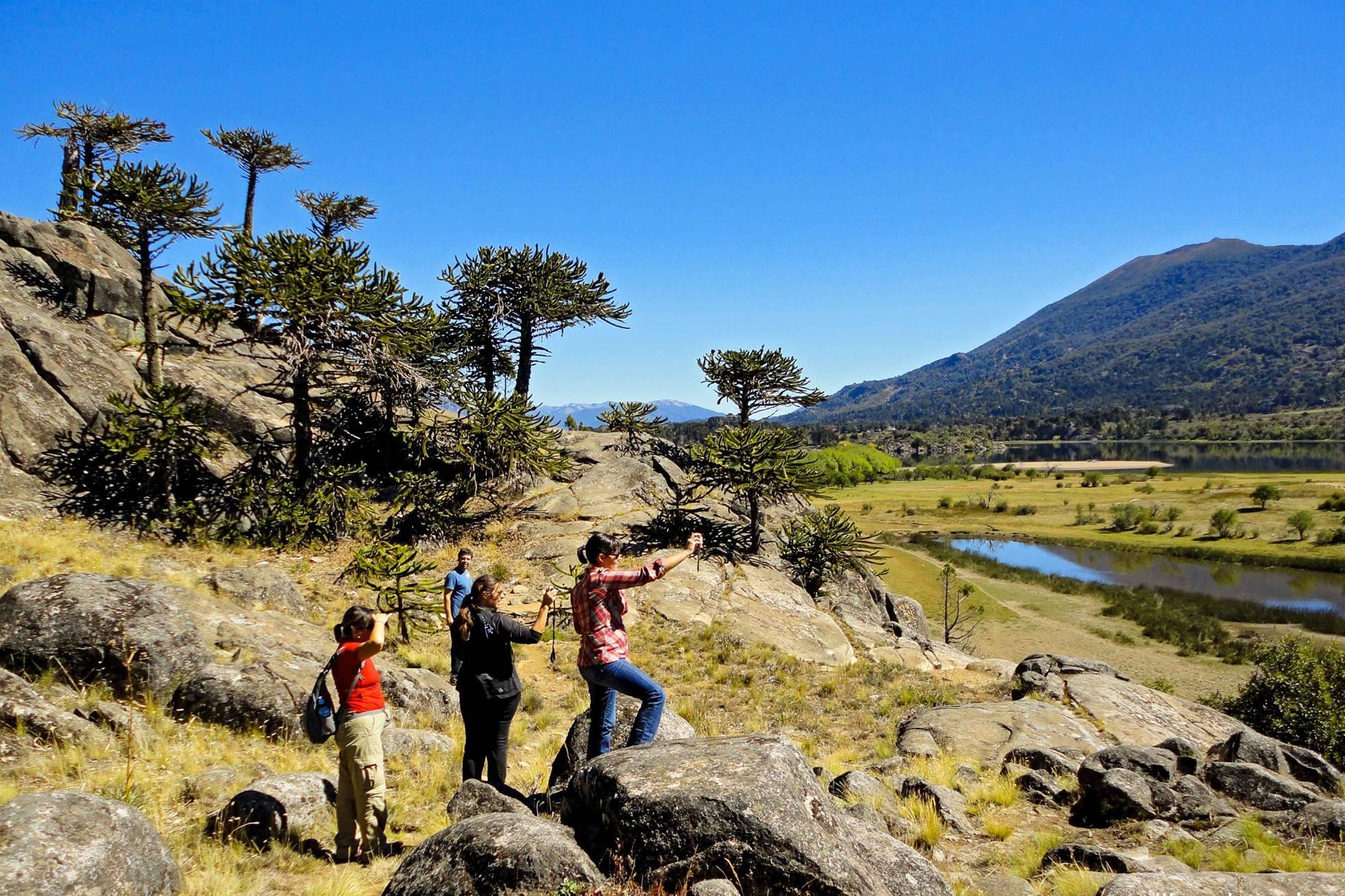 El Pehuén, árbol emblema de Neuquén