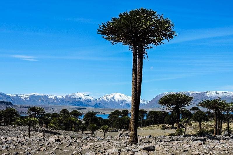 Ruta Del Pehuén, Un Jardín Patagónico Dominado Por Las Araucarias