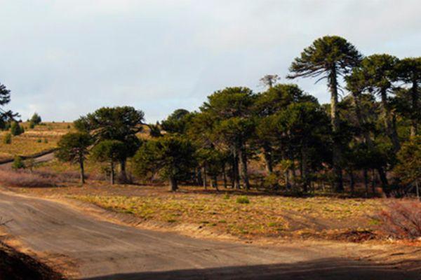 Villa Pehuenia, un paraíso entre araucarias