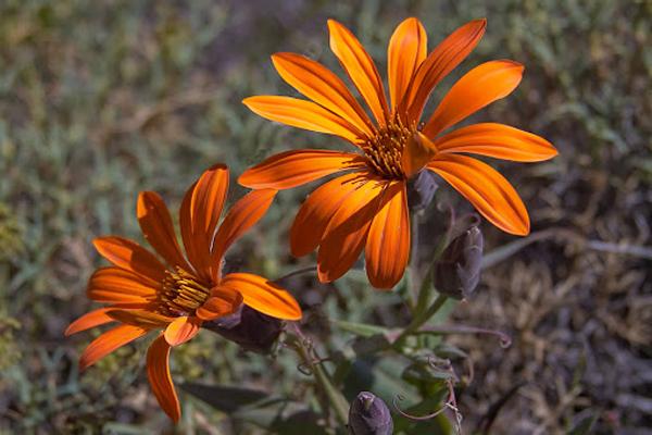 La Mutisia Naranja (Quiñilhue) – Flor provincial del Neuquén.